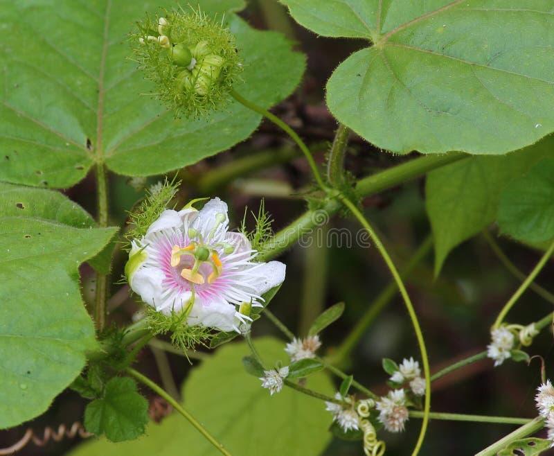 Passiflora foetida flower. Flower of Passiflora foetida. Common names are love-in-a-mist, sneki markusa, stinking passion flower, granadilla colorada, pop vine royalty free stock image