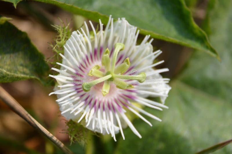 Passiflora foetida flower. In nature garden royalty free stock image