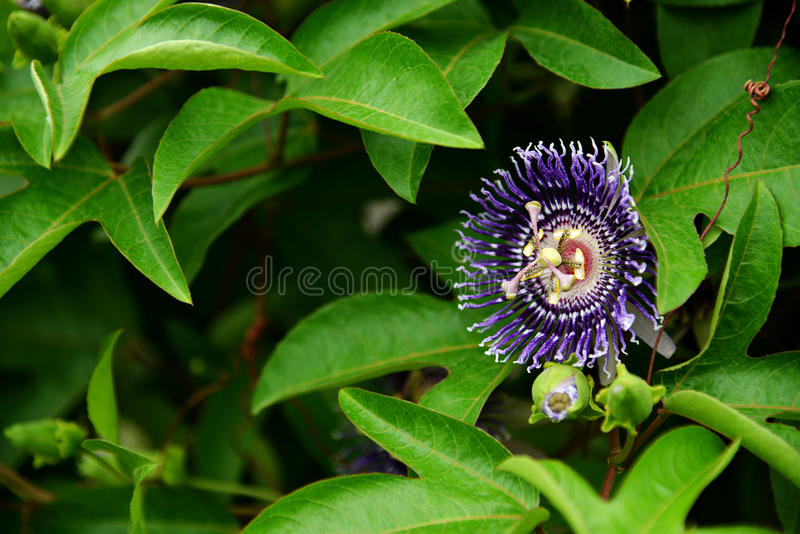 Passiflora foetida flower. In nature garden royalty free stock images