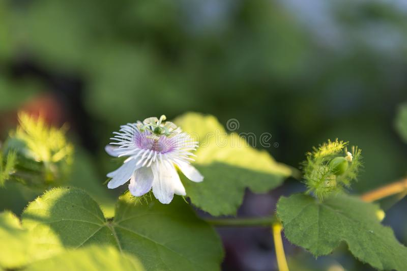 Passiflora foetida flower over blurred green garden background. Nature concept stock photography