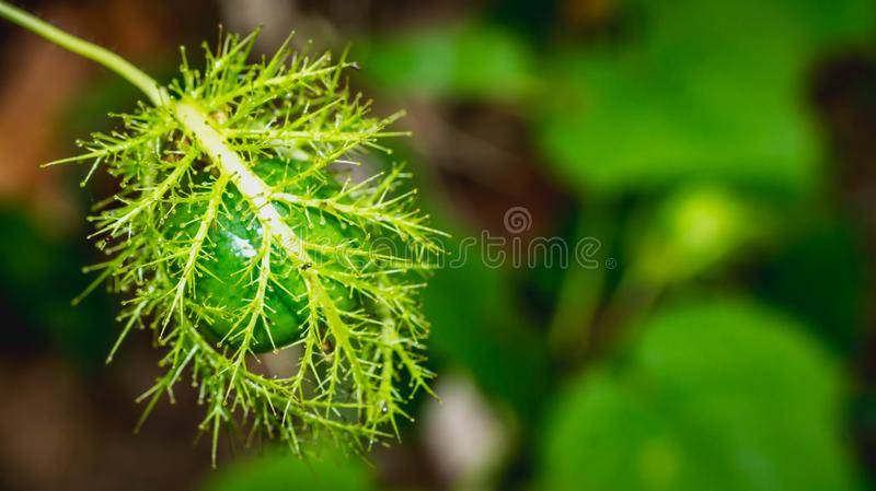 Passiflora foetida fruit. Wild plant used for medicinal purpose in South East Asia royalty free stock photography