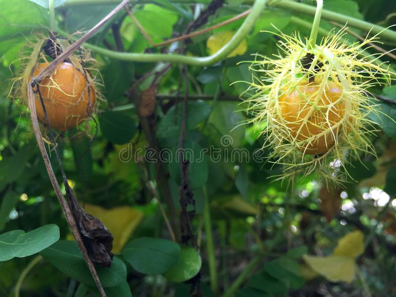 Passiflora foetida L. Scarletfruit passionflower in tropical garden stock image