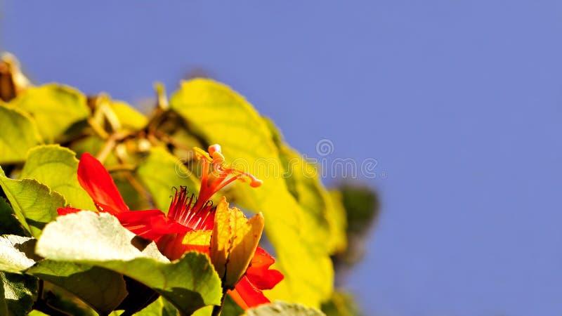 Passiflora ibrida chiamata 'Grace Ann' fotografie stock libere da diritti