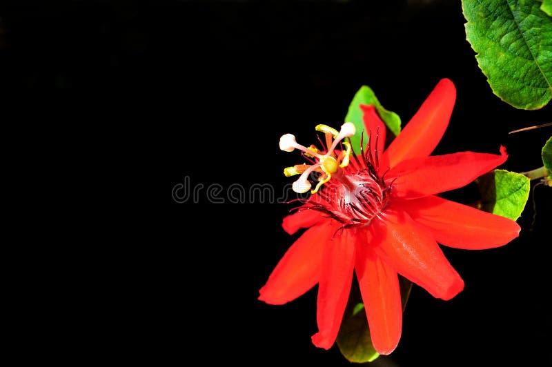 Passiflora ibrida chiamata 'Irene' immagine stock libera da diritti
