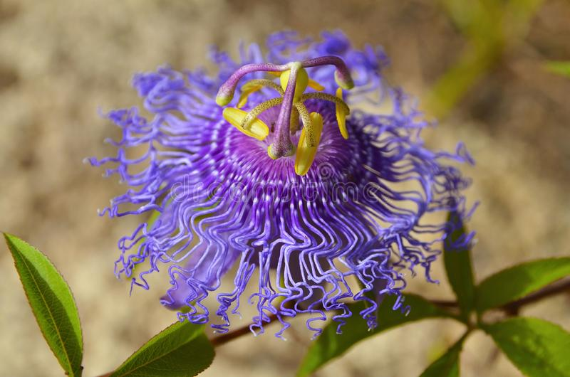 Passiflora incarnata commonly known as Maypop,Purple passionflower,Wild apricot is a fast-growing perennial vine with climbing ste. Ms.Selective focus royalty free stock images
