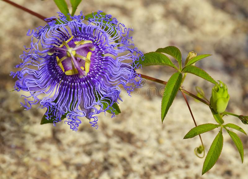 Passiflora incarnata commonly known as Maypop,Purple passionflower,Wild apricot is a fast-growing perennial vine with climbing ste. Ms.Selective focus stock photo
