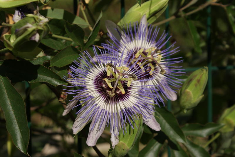 Passiflora incarnata. passion flowers. green leaves. Strange flowers, natural background. spring day stock photos