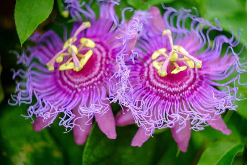Passiflora Incarnata purpur Passionflower zdjęcie royalty free