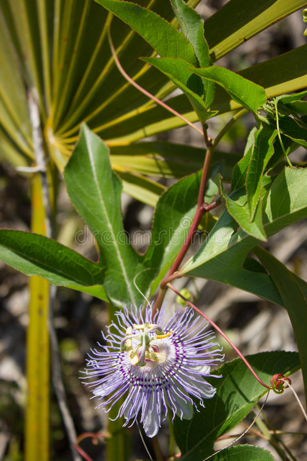 Passiflora incarnata and Serenoa repens. Close-up of Passiflora incarnata flower and Serenoa repens in their natural setting royalty free stock photography