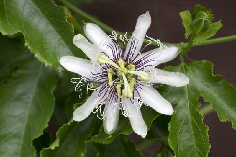 Passiflora incarnata zadziwiający dziwaczny kwiat w kwiacie zdjęcie royalty free