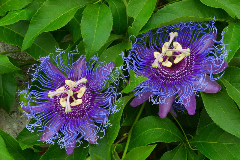 Passiflora Inspiration, Inspiration Passionflower, Passion - Florida. Passion Flower 'Inspiration' (Passiflora hybrid) Large flowers which are peculiar deep royalty free stock image