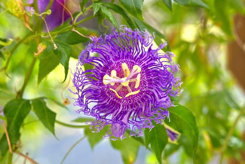 Passiflora Inspiration Passion Flower. A purple Passiflora Inspiration Passion flower stock images