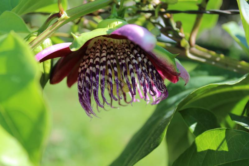 Passiflora, known also as the passion flowers or passion vines. Passiflora edulis is a vine species of passion flower that is native to southern Brazil through stock photo