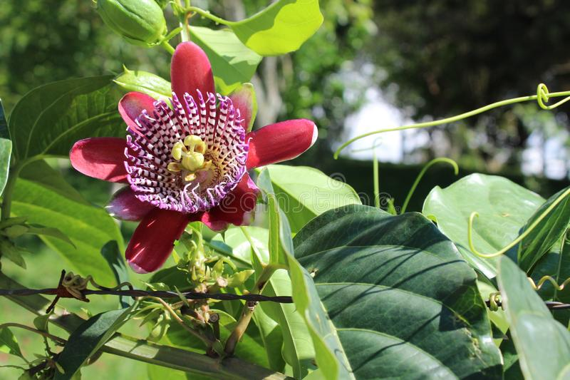 Passiflora, known also as the passion flowers or passion vines. Passiflora edulis is a vine species of passion flower that is native to southern Brazil through royalty free stock photo