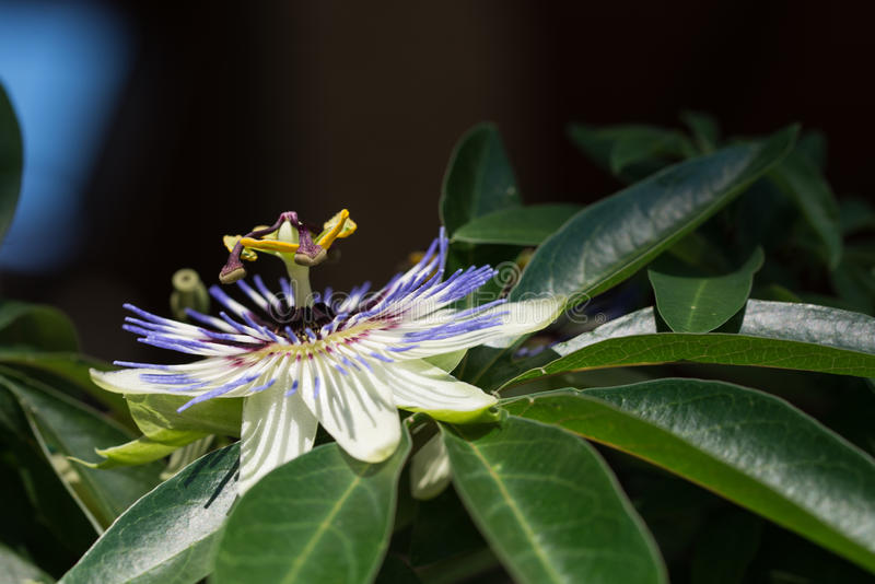 Passiflora kwiat fotografia stock