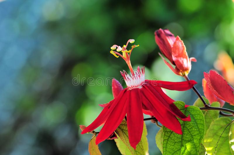 Passiflora. A Passiflora, Mary Jane, passion vine or passion flower in Butterfly World, South Florida stock photography