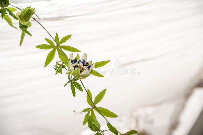 passiflora miejska d?ungla, Wintergarden z ro?linami, kwiaty Ogr?d w domu, przeflancowywa ro?liny fotografia stock