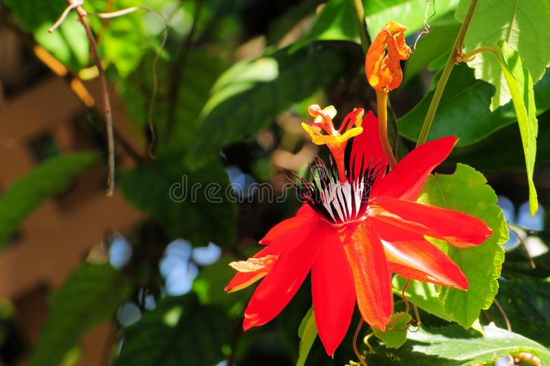 Passiflora miniata. A passion flower or passion vine in Butterfly World, South Florida stock image