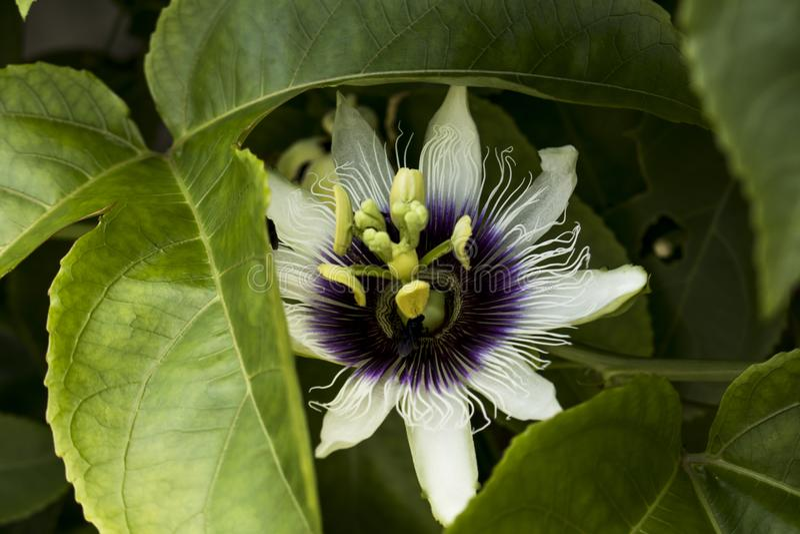 Passiflora na naturze fotografia royalty free