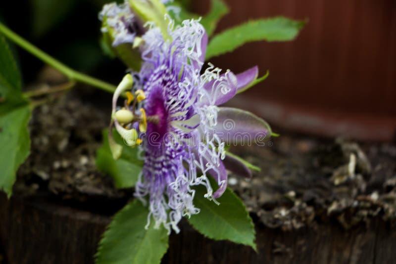 Passiflora. Beautiful purple flower of Passiflora in the garden. Selective focus stock photos