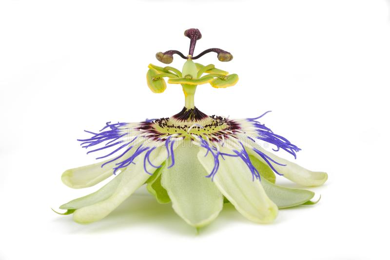 Passiflora Passiflora caerulea. Passion flower isolated on white background royalty free stock photo