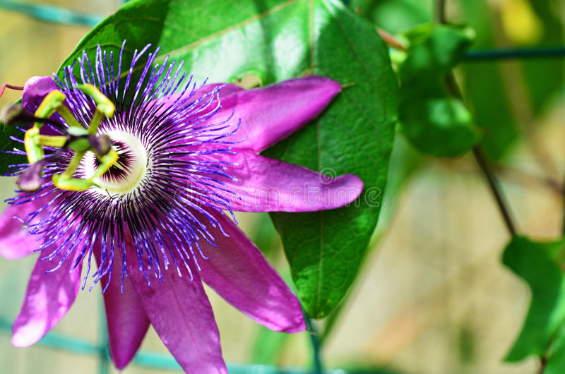 Passiflora, Passion Flower. Passiflora Amethyst, Passion Flower, Lavender Lady royalty free stock images