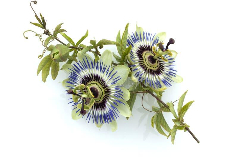 Passiflora; Passion flower; caerulea. Blossom royalty free stock photography