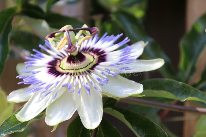 Passiflora passion flower in close up in a garden in nieuwerkerk aan den ijssel in the Netherlands.  stock image
