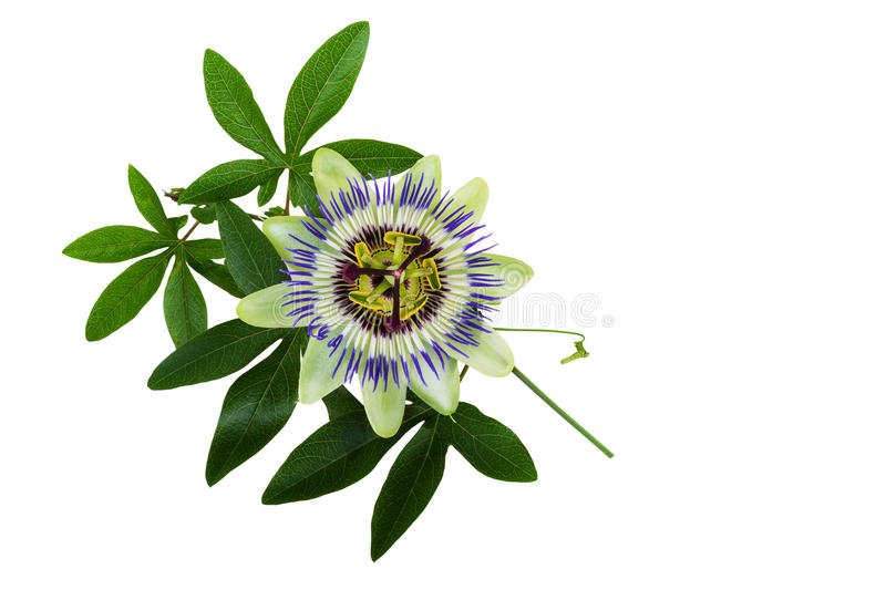 Passiflora or Passion Flower. Homeopathic plant.  royalty free stock photos