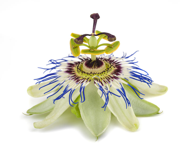 Passiflora. Passion flower isolated on white background royalty free stock photos