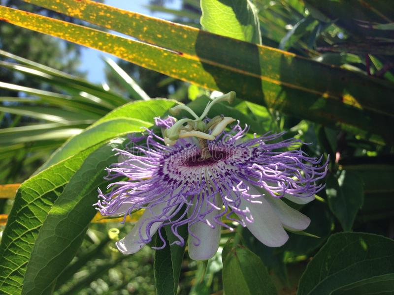 Passiflora (Passion Flower) Plant Blossoming in Bright Sunlight. Passiflora (Passion Flower) Plant Blossoming in Bright Sunlight in Port Orange, Florida royalty free stock photos