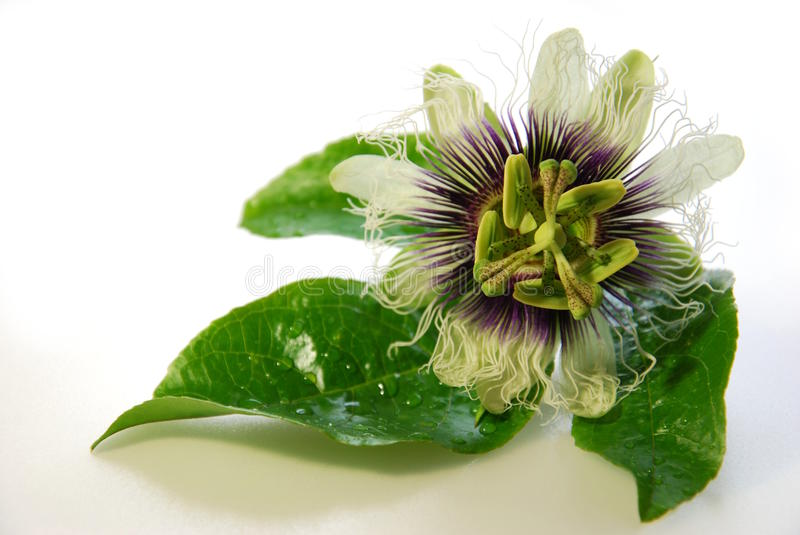 Passiflora. Passion flower in white background stock photos