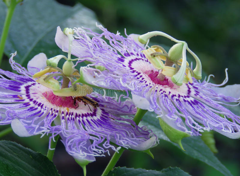 Passiflora or Passion flowers, growing on the vine stock photo