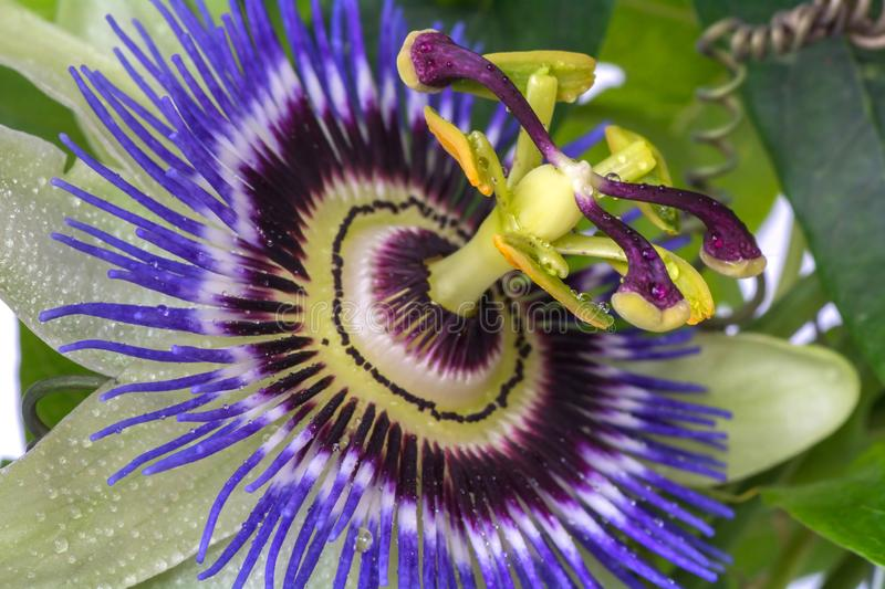 Passiflora passionflower close up. Big beautiful flower. Passiflora passionflower close up. Big beautiful flower royalty free stock photography