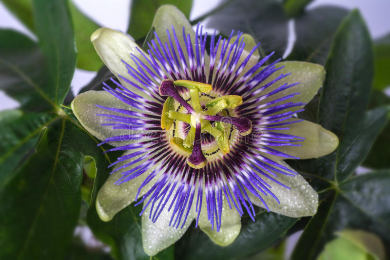 Passiflora passionflower with dew water drops . Big beautiful flower. royalty free stock photos