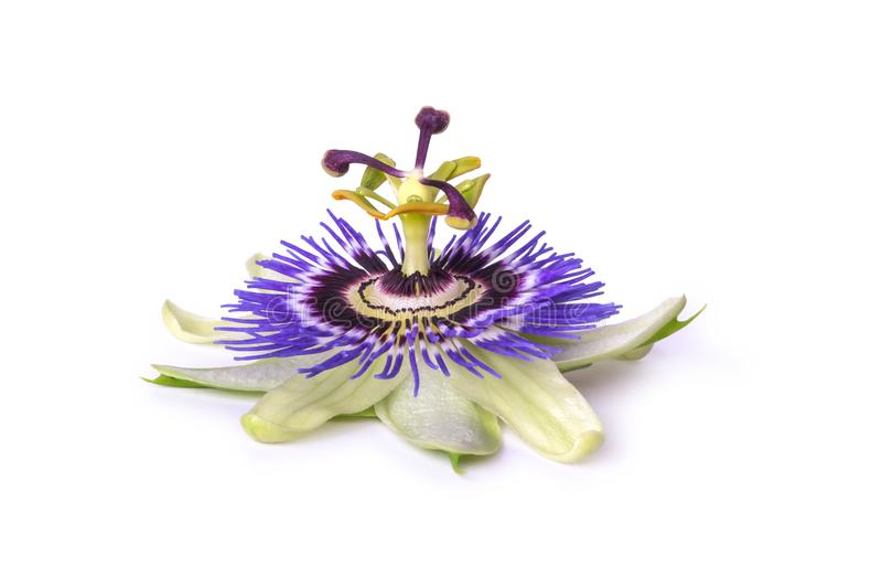 Passiflora passionflower isolated on white background. Big beautiful flower. Passiflora passionflower isolated on white background. Big beautiful flower royalty free stock photos