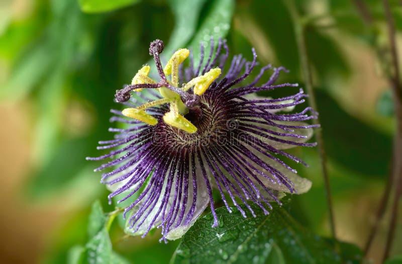 Passiflora Violetta Duży jaskrawy passionflower z wodnymi kroplami zdjęcie royalty free