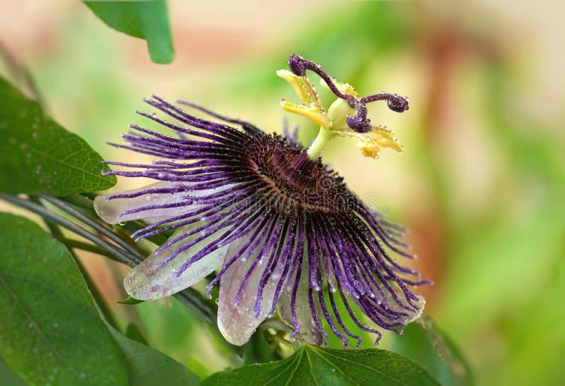 Passiflora Violetta Stor ljus passionsblomma med vattendroppar arkivbilder