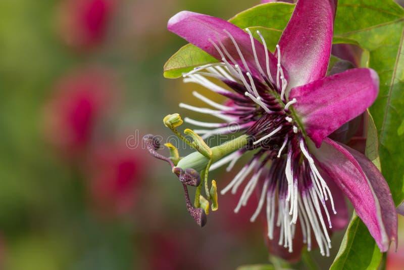 Passiflora. Pink white passiflora flower close-up stock images