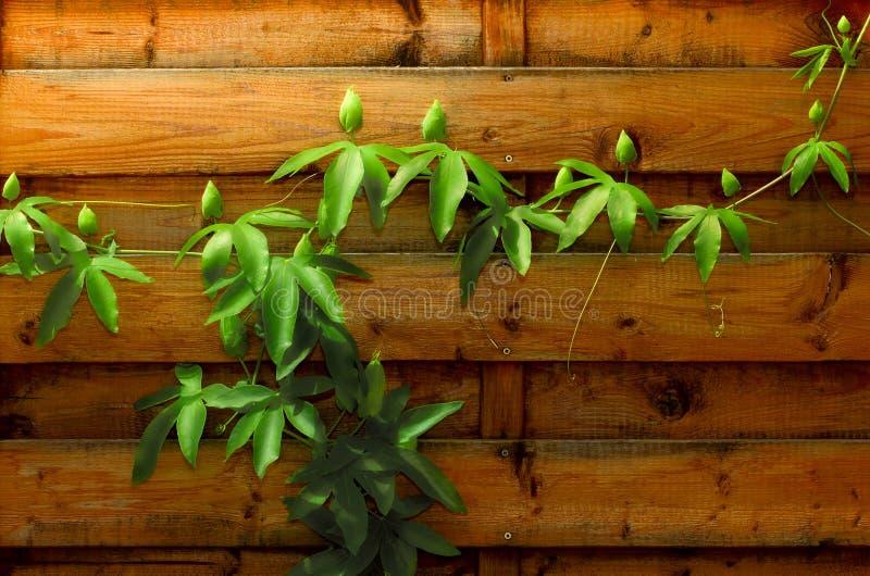 Passiflorabuds на деревянной стене стоковое изображение rf