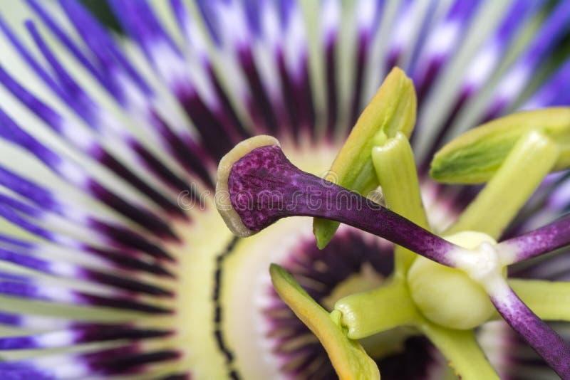 Passiflorapassionsblommaslut upp stor härlig blomma royaltyfri bild