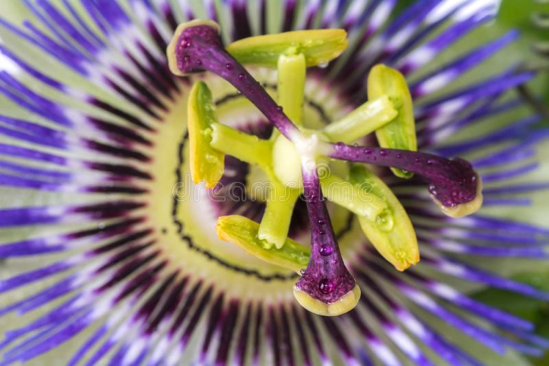 Passiflorapassionsblommaslut upp stor härlig blomma arkivbilder