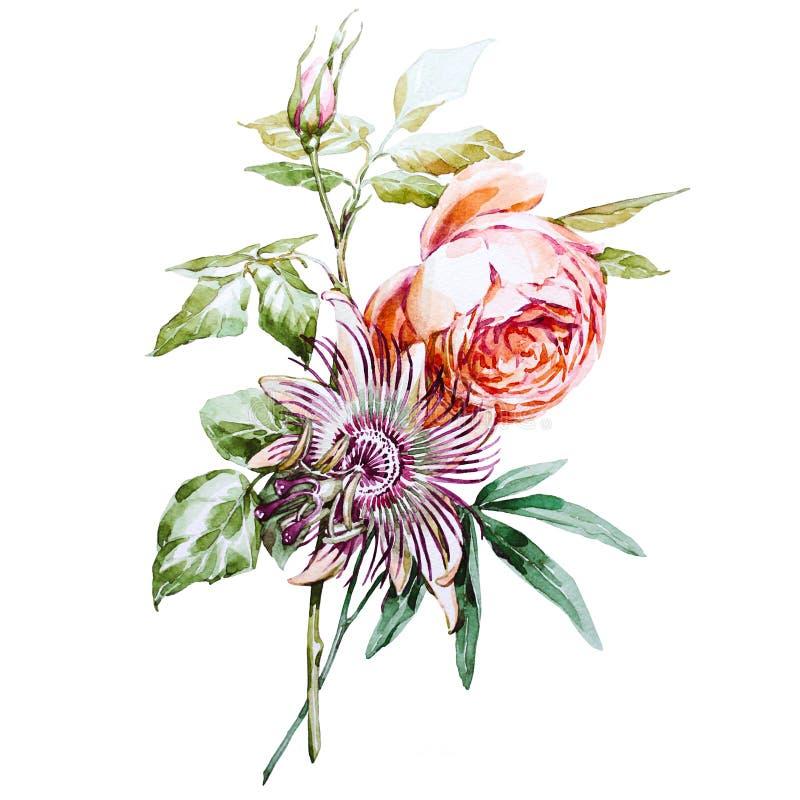 Passiflore de Rose photos libres de droits