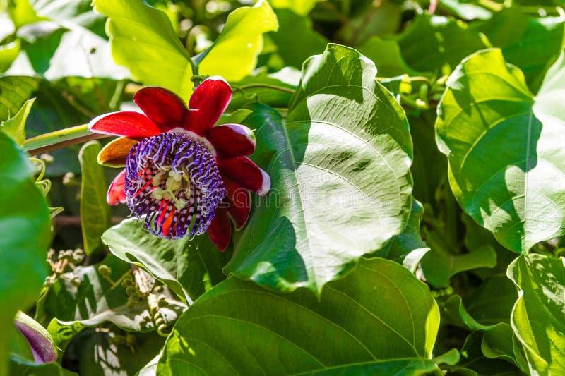 Passiflore géant de plante fruitière photos libres de droits