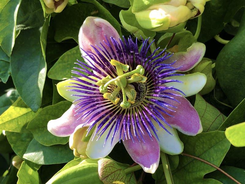 Passiflore, Passiflora X belotii or Passionsblume, Mainau - Constance, Germany. Or Konstanz, Deutschland stock photos