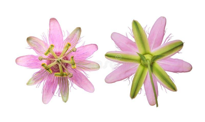 Passiflore rose Nephrodes de passiflore d'isolement sur le fond blanc image stock