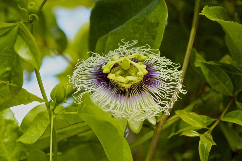 Passiflory passionflower obrazy stock