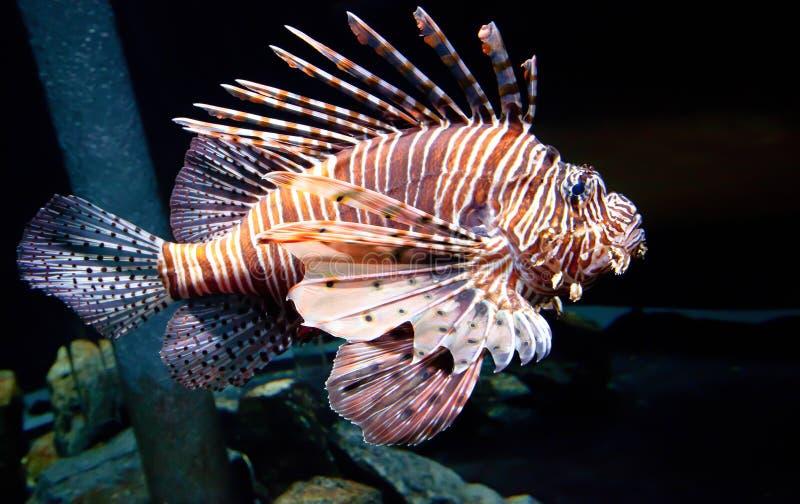 Passing Lion Fish stock image