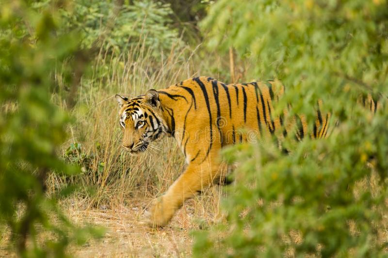 Wary, Wild Bengal Tiger. Passing by an opening in some bushes as it walks by the tall jungle grasses is a beautiful but wary large wild female orange and black royalty free stock photos