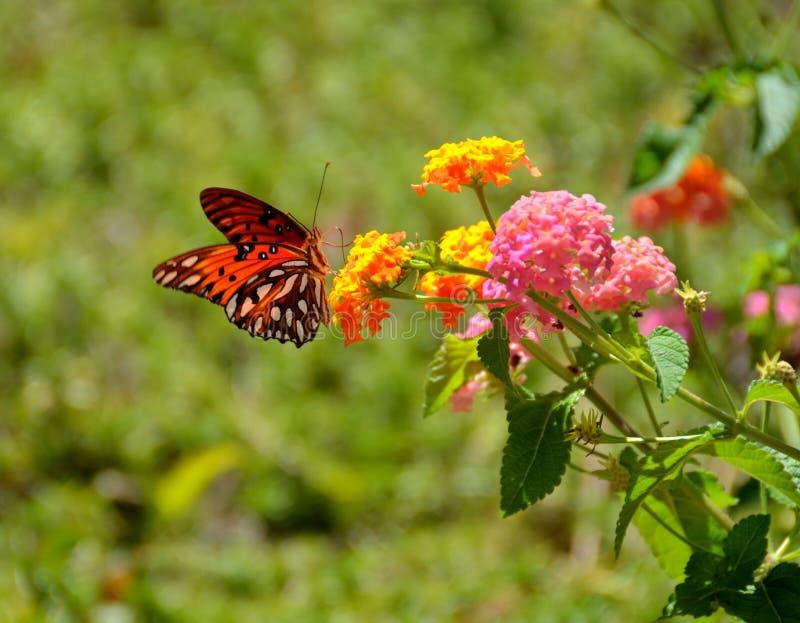 passion för fjärilsfritillarygolf arkivbild